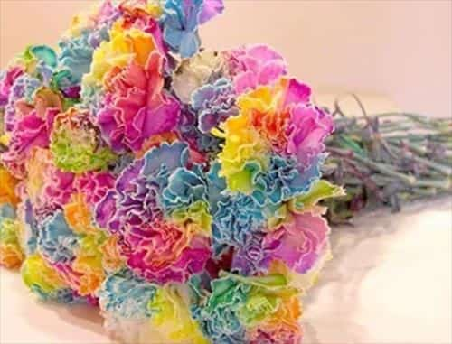 Rainbow carnation