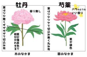 牡丹 芍薬